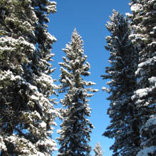 Winter wonderland with tall snow-covered trees